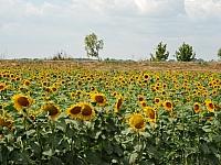slnecnica-fotogaleria_0002