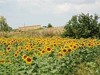slnecnica-fotogaleria_0003